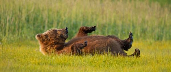 Bear rolling in grass
