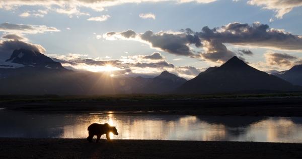 Bear with the Alaska sunset