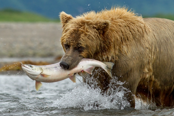 Chinook bear catching salmon