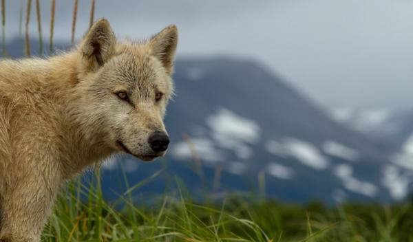 Tikaani the wolf from Disneynature Bears movie