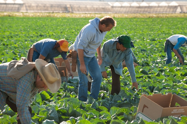 Pickers in the field in McFarland USA